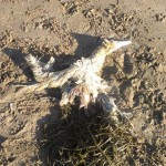 dead gannet